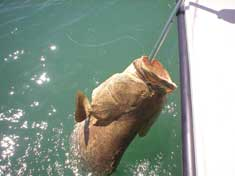 250 lb Goliath Grouper caught in Gullivan Bay, nice catch on 30 lb test! - Marco Island Fishing Charters
